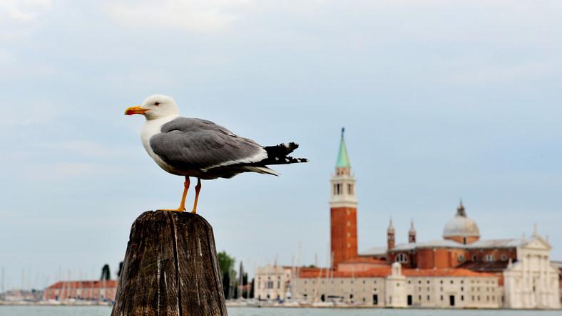 Чайка  в Венеции